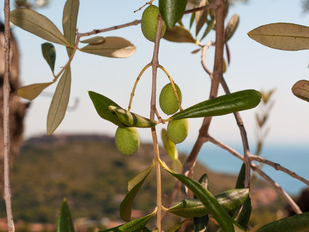 closeup of olives and olive tree with leaves on a background of blue sky and sea in a beautiful summer day Stock fotó