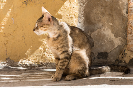 Stray tabby cat against a wall of the same color in the alleys of Ortigia Syracuse Sicily Italy