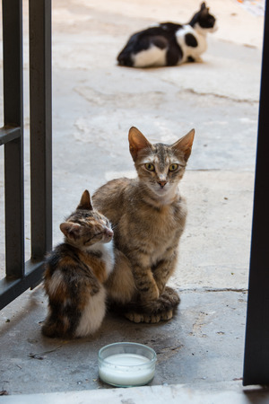 Stray cats mother with puppy and bowl of milk in the streets of Ortigia Syracuse Sicily Italy Banco de Imagens