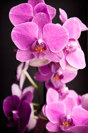 Pink orchid flowers on a black background  photo
