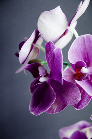 Violet orchid on a dark grey background photo