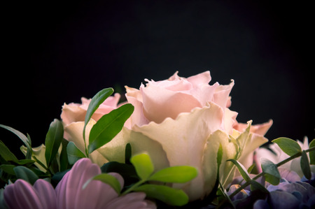 profiled: Delicate light-pink roses closeup profiled with a focus on one flower on a black and other flowers background
