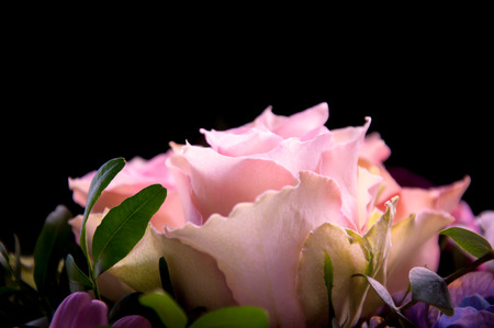 profiled: Delicate pink roses closeup profiled with a focus on one flower on a black background