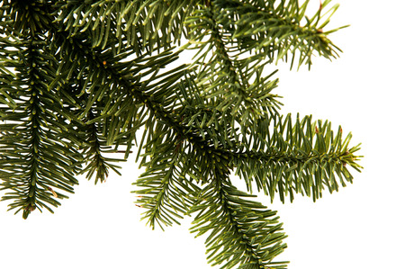 green fir-tree twigs on a white background