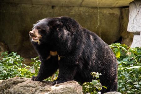 howl: Asian black bear