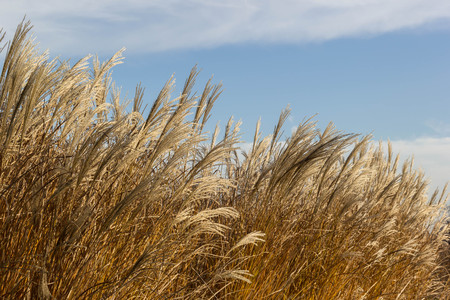 Tall dry grass sway in the wind background