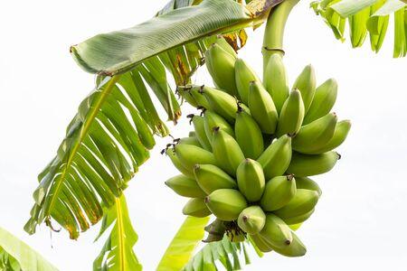 Bunch of raw bananas on banana tree with background of banana leaves