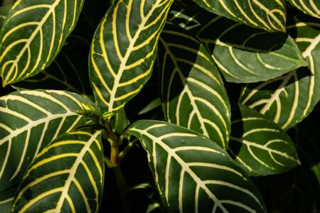 Background of green foliage leaves of plant with light and shadow, enviroment and nature concept