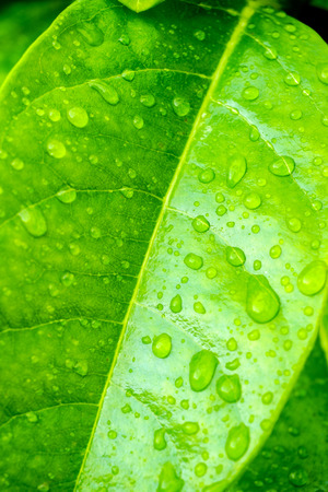 venation: Green leaf with water drop