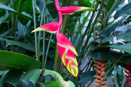 bloom bird of paradise: Bird of paradise flower closeup