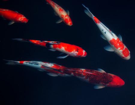 Koi Karpers Vissen Japanse zwemmen (Cyprinus carpio) mooie kleur variaties natuurlijke organische