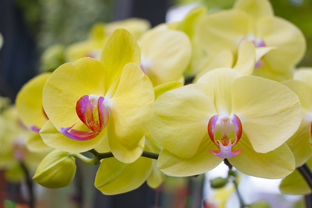 Beautiful yellow orchid flowers closeup photo
