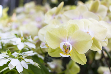 Beautiful yellow orchid flowers closeup photo