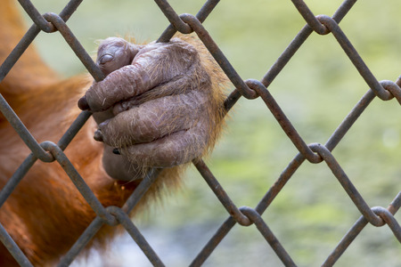 hand out: monkey hand out from the cage of zoo