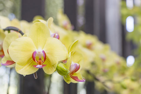 thai orchid: Beautiful yellow orchid flowers closeup