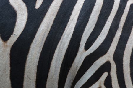 burchell: Zebra skin Stock Photo