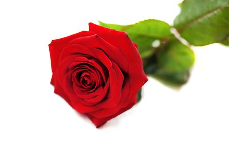 Rojo natural rosa aisladas sobre fondo blanco. Foto de archivo - 48683669