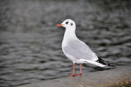 ridibundus: Black Headed Gull, Larus Ridibundus