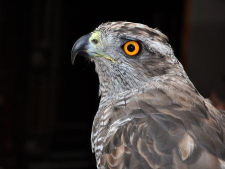 goshawk: Accipiter gentilis, Goshawk