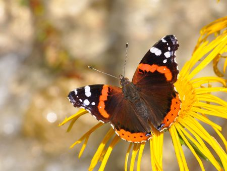 vanessa: Red Admiral, Vanessa atalanta Stock Photo