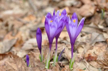 Crocus vernus , Spring crocus  Standard-Bild