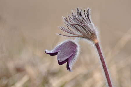 pasque flower, pulsatilla