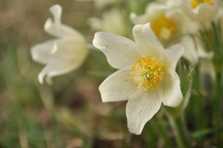 pulsatilla: Pasque flowers, white version, Pulsatilla patens  Stock Photo