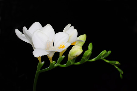 White freesia isolated on black, ecklon ex klatt Standard-Bild