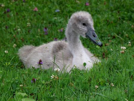dewey: Swan, Cigno del bambino