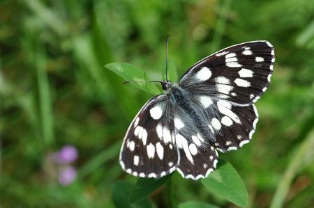 Melanargia galathea, marbled white in the grass