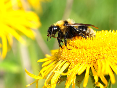 goldy: a busy bee on yellow flower Stock Photo