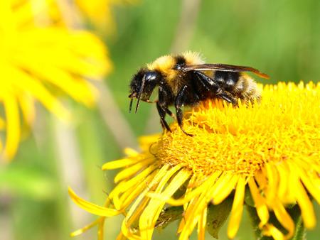 goldy: un ape sul fiore giallo