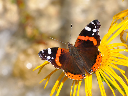 admiral: Red Admiral, Vanessa atalanta Stock Photo
