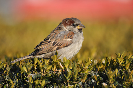 passer    by: Sparrow, House Sparrow, Passer domesticus