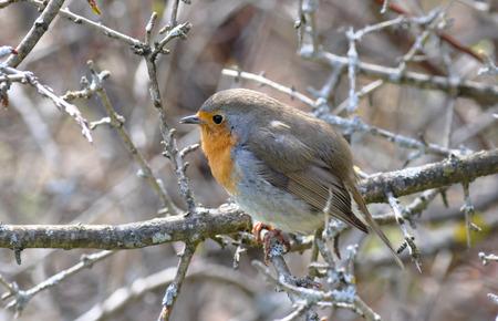 rubecula: European Robin, Erithacus rubecula