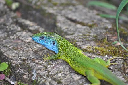 Lacerta viridis male, Gusterul
