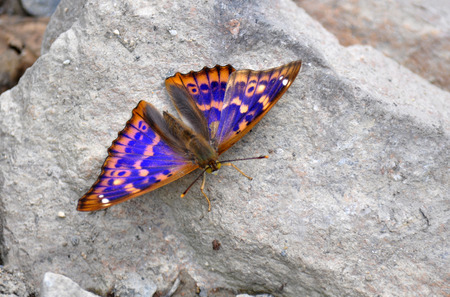 metis: Apatura metis, Purple emperor  Stock Photo