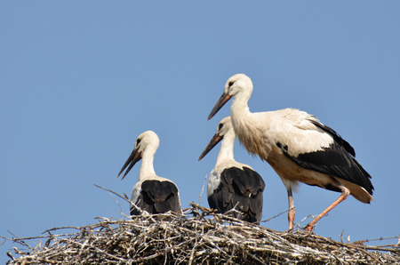 White stork, Ciconia ciconia,  birds on nest