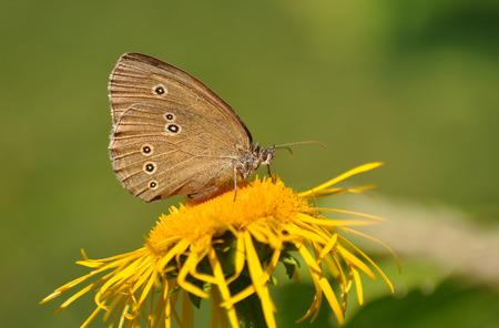hyperantus: Ringlet butterfly, Aphantopus hyperantus