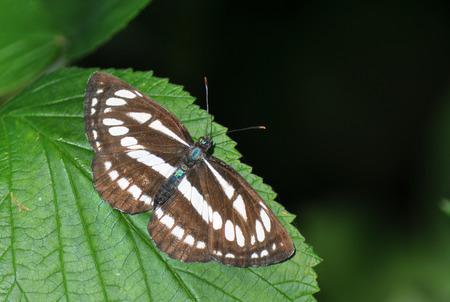 Neptis sappho, common glider
