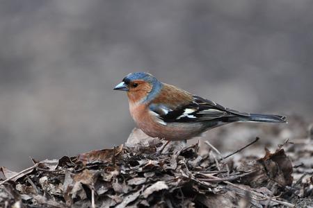 chaffinch: Chaffinch, Fringilla coelebs