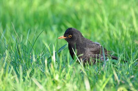 turdus: Turdus merula, Black bird  Stock Photo