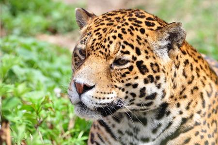 panthera onca: jaguar head, Panthera onca Stock Photo