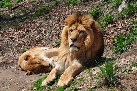 panthera leo: lion head, Panthera leo
