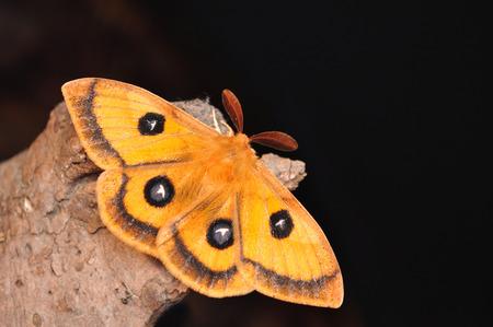 emperor moth, Aglia tau Banque d'images