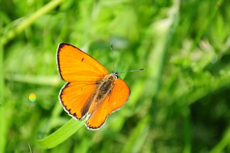 virgaureae: red butterfly Scarce Copper, Lycaena virgaureae