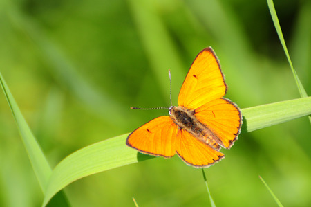 red butterfly Scarce Copper, Lycaena virgaureae photo