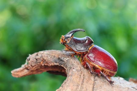 Oryctes nasicornis, beetle  photo
