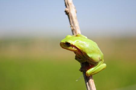 arboreal frog: Hyla arborea, Rana de �rbol