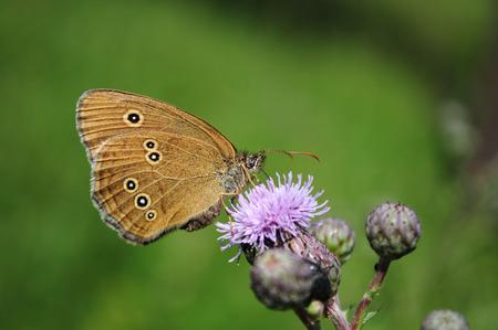 ringlet: Ringlet butterfly, Aphantopus hyperantus